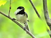 Bird - Black-capped Chickadee 2