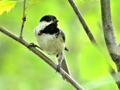 Bird - Black-capped Chickadee 2