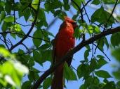 Bird - Cardinal