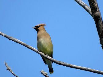Bird - Cedar Waxwing