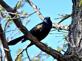 Bird - Common Grackle