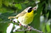 Bird - Common Yellowthroat
