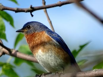 Bird - Eastern Bluebird 2