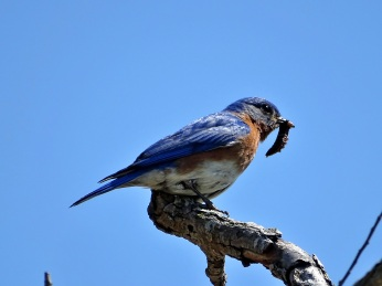 Bird - Eastern Bluebird