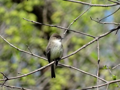 Bird - Eastern Phoebe