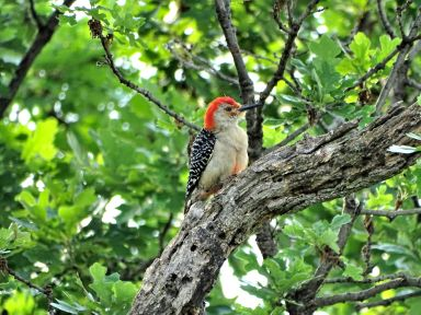 Bird - Red-bellied Woodpecker