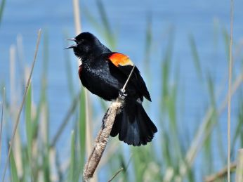 Bird - Red-winged Blackbird 2