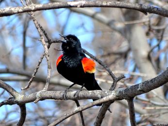 Bird - Red-winged Blackbird