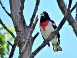Bird - Rose-breasted Grosbeak