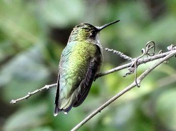 Bird - Ruby-throated Hummingbird 2