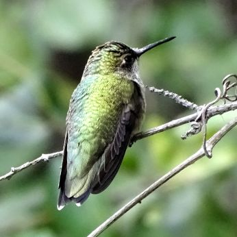 Bird - Ruby-throated Hummingbird 2