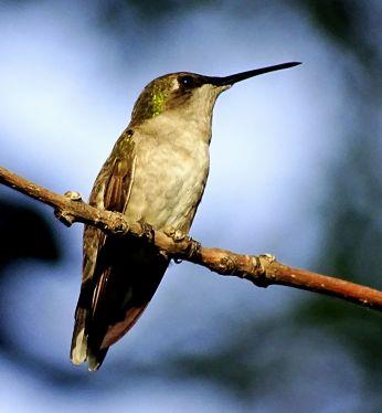 Bird - Ruby-throated Hummingbird 3
