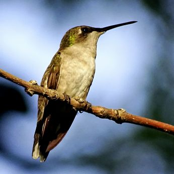 Bird - Ruby-throated Hummingbird 3
