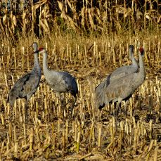 Bird - Sandhill Cranes 2