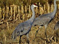 Bird - Sandhill Cranes 3