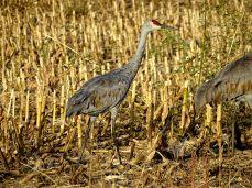Bird - Sandhill Cranes
