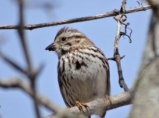 Bird - Song Sparrow 2