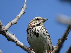 Bird - Song Sparrow
