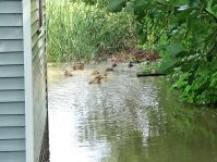 Ducks swimming in the yard