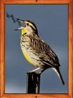 Meadowlark singing - framed