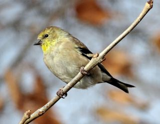 American Goldfinch (4)