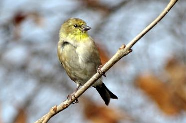 American Goldfinch (5)