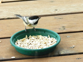 Black-capped Chickadee (1)