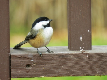 Black-capped Chickadee (2)
