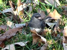 Dark-eyed Junco (3)