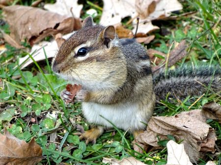 Eastern Chipmunk (2)