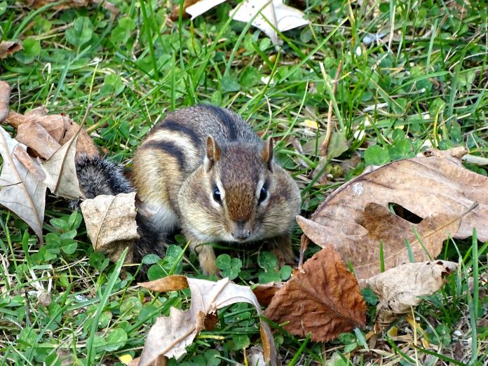 Eastern Chipmunk (3)
