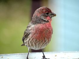 House Finch (1)