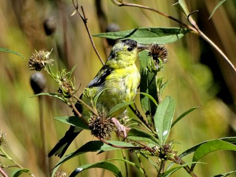 October Hike - American Goldfinch 1