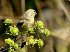 October Hike - American Goldfinch 2