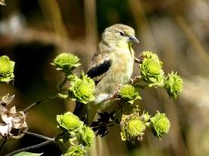 October Hike - American Goldfinch 3