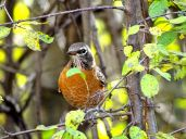 October Hike - American Robin