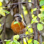 October Hike - American Robin