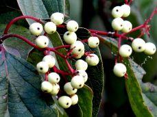 October Hike - berries 1