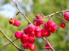 October Hike - berries 2