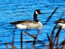 October Hike - Canada Geese 1