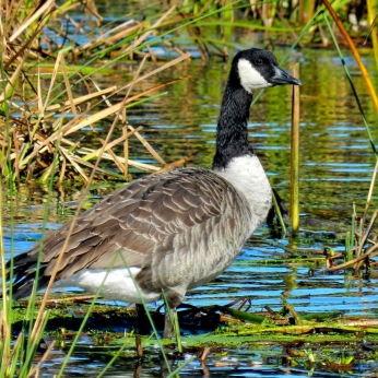 October Hike - Canada Geese 2
