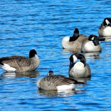 October Hike - Canada Geese 3