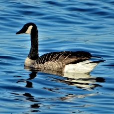 October Hike - Canada Goose 4
