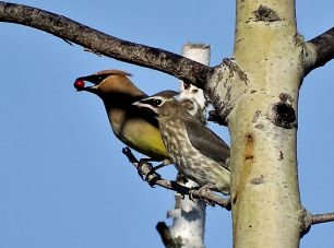October Hike - Cedar Waxwing with juvie