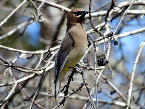 October Hike - Cedar Waxwings 1