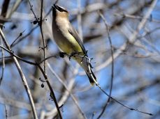 October Hike - Cedar Waxwings 2