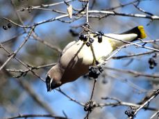 October Hike - Cedar Waxwings 3