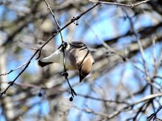 October Hike - Cedar Waxwings 4