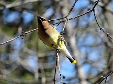 October Hike - Cedar Waxwings 5