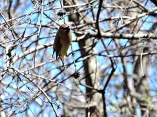 October Hike - Cedar Waxwings 6